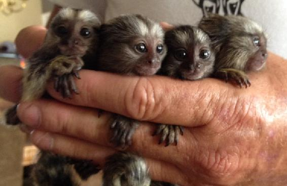 FREE FREE FREE Marmoset And Capuchin Monkeys For