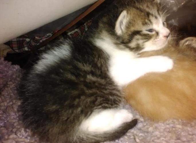 free kittens in michigan