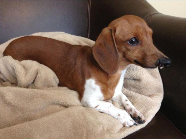 Mini Dachshund Dogs For Sale Wisconsin