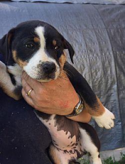Freedom Amy Beagle Puppy Female