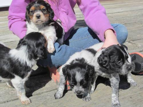French Brittany Puppies For Sale In Hamilton Michigan Classified