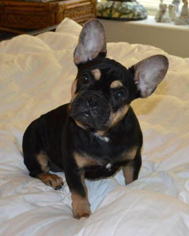 French Bulldog For Sale In Texas Classifieds Buy And Sell In Texas