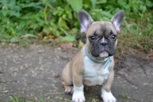 French Bulldog Adorable Sable male black and tan father for sale in