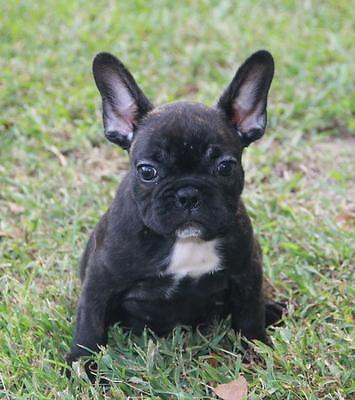 french bulldog mississippi french bulldog akc for sale in eminence mississippi 224