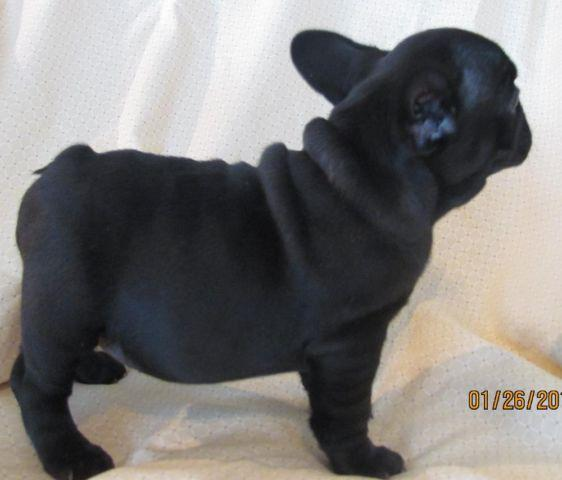 French Bulldog Ay/a