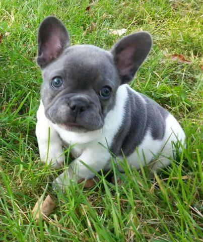 baby french bulldog for sale french bulldog baby for sale in orono minnesota 7439