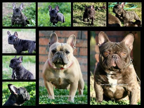 american french bulldog - photo #8
