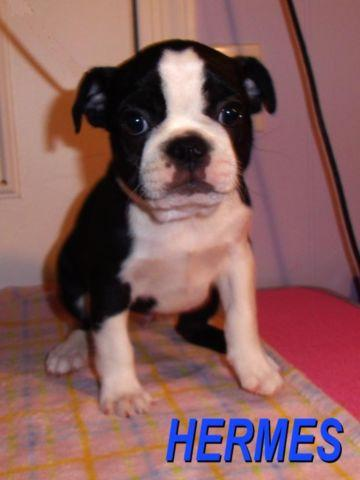 French Bulldogboston Terrierpug Mix Pups Called Frogs For Sale