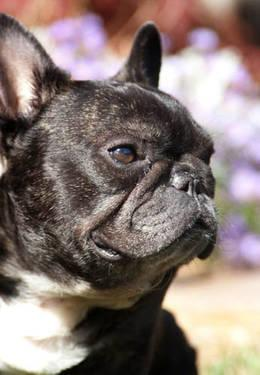 French Bulldog Chief Medium Adult Male Dog For Sale In Glen Allen Virginia Classified