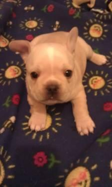 French bulldog puppies cincinnati