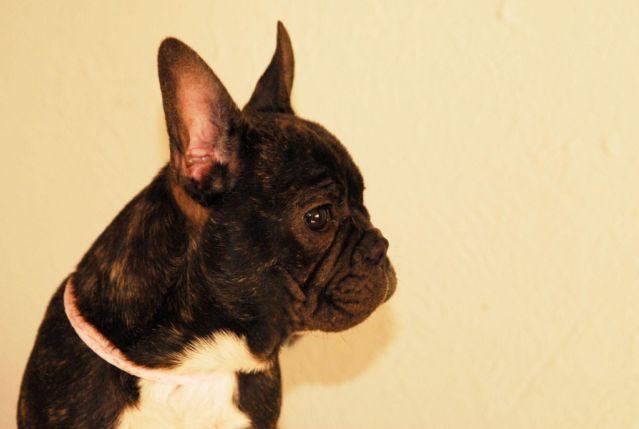 french bulldog female puppy black brindle pie blue carrier  sale  rosamond california
