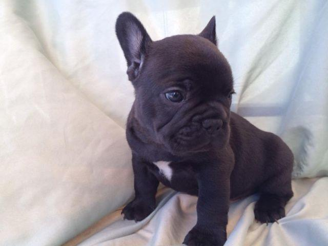 Baby Black French Bulldog | www.pixshark.com - Images ...