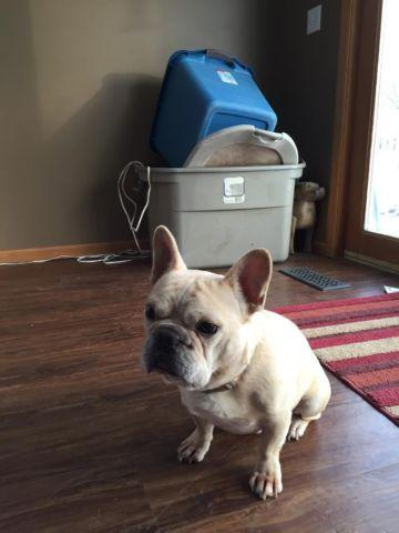 french bulldog for sale mn french bulldog male for sale in otsego minnesota 3983
