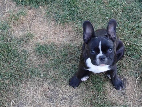 american french bulldog - photo #5