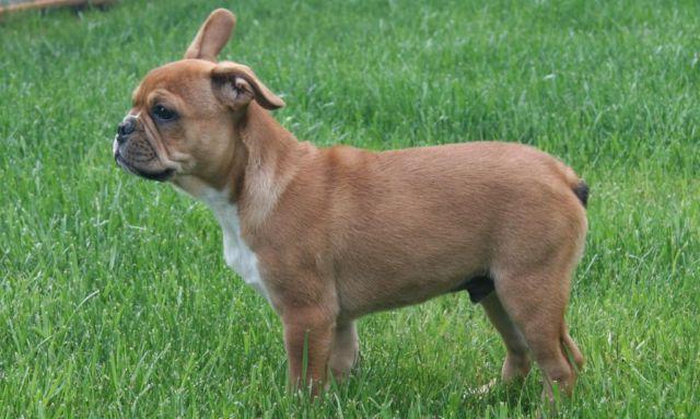 american french bulldog - photo #47