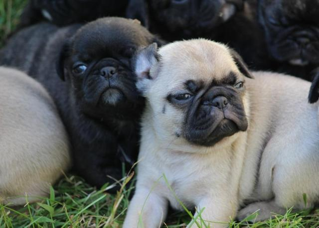pug breeder michigan