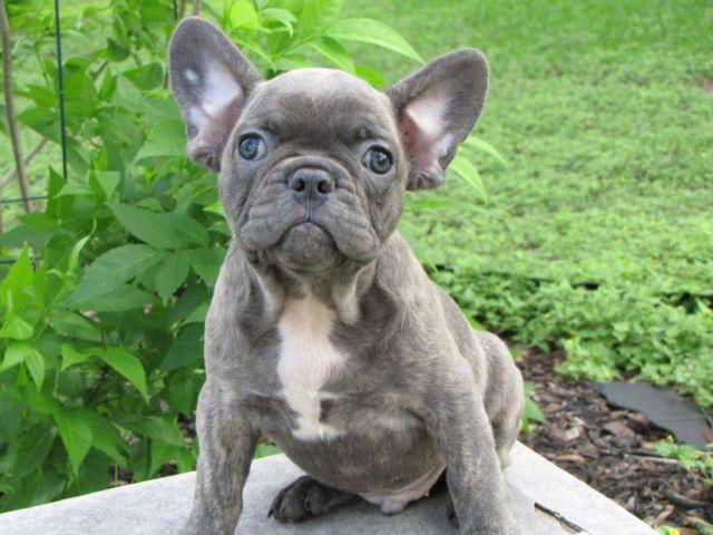 Blue french bulldog puppies blue eyes
