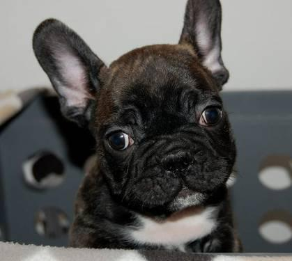 French Bulldog Puppies AKC Only 2 puppies left!! for Sale in