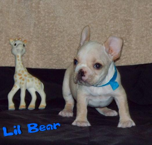 French Bulldog Puppies Akc Ready Now For Sale In Lynchburg