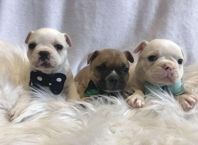 french bulldog puppies nc french bulldog puppies for sale in charlotte north 5675