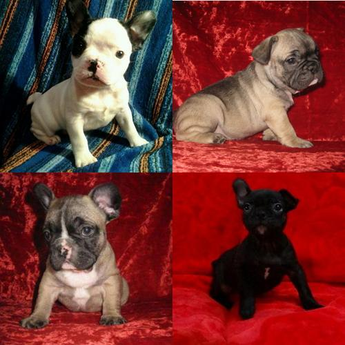 French Bulldog Puppies & Dogs - Adopt-a-Pet.com