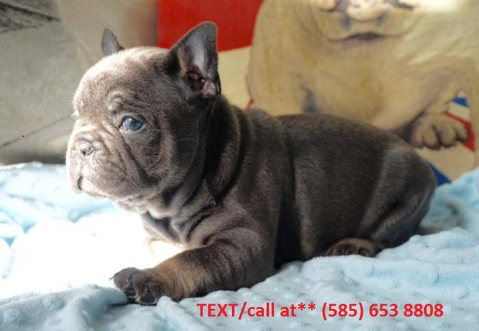 French Bulldog puppies available #1 $500