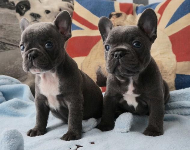 French Bulldog puppies available for sale #1