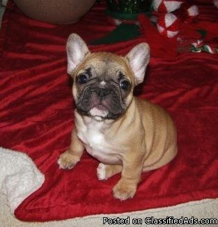French Bulldog Puppies For Sale For Sale In Des Moines Iowa