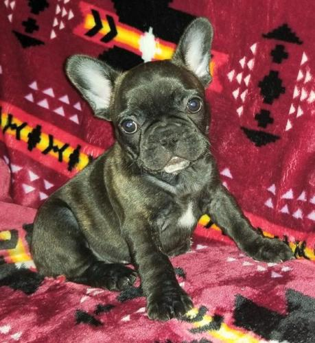 French Bulldog Puppy For Sale In Saginaw Michigan Classified