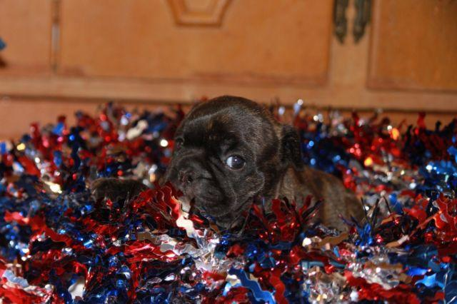 French Bulldog Puppy Cameron Full AKC