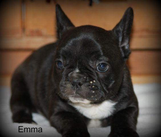 French Bulldog Puppy Emma Full AKC