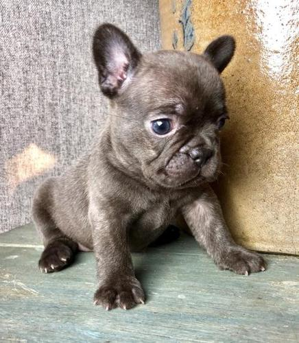 french bulldog puppies for sale in ms french bulldog puppy for sale adoption rescue for sale 3629