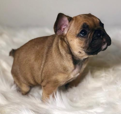 french bulldog puppies omaha french bulldog puppy for sale adoption rescue for sale 5675
