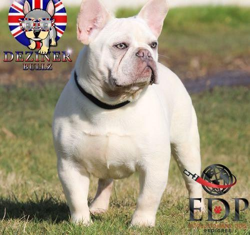 French Bulldog Puppy For Sale Adoption Rescue For Sale In Lititz