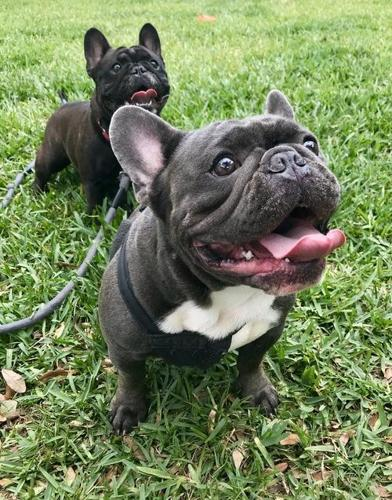 French Bulldog Puppy for Sale - Adoption, Rescue