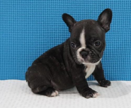 French Bulldog Puppy For Sale Adoption Rescue For Sale In Bayonne