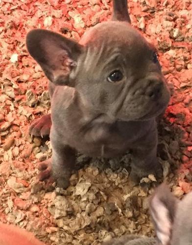 French Bulldog Puppy for Sale - Adoption, Rescue