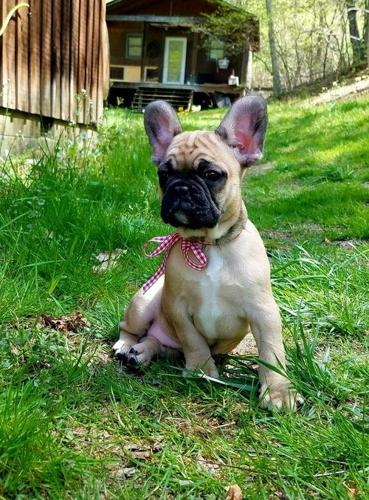 french bulldog puppies nc french bulldog puppy for sale adoption rescue for sale 6142