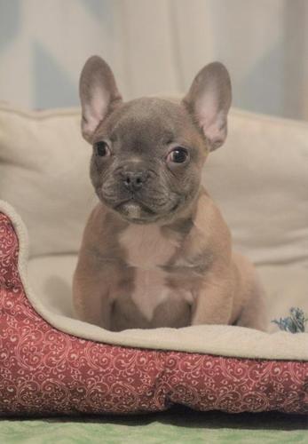 French Bulldog Puppy For Sale Adoption Rescue For Sale In Pulaski Iowa Classified