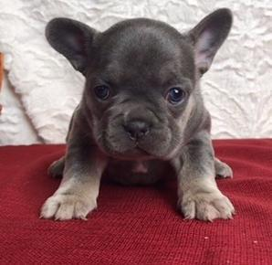French Bulldog Puppy for Sale - Adoption, Rescue for Sale in