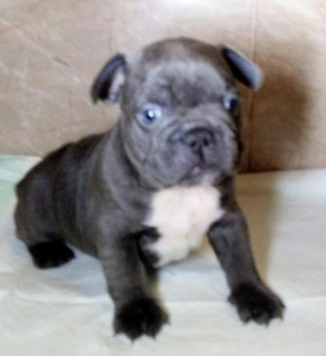 french bulldog puppies for sale in ct french bulldog puppy for sale adoption rescue for sale 1999