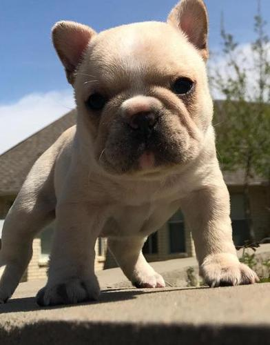 French Bulldog Puppy for Sale - Adoption, Rescue for Sale in Fort