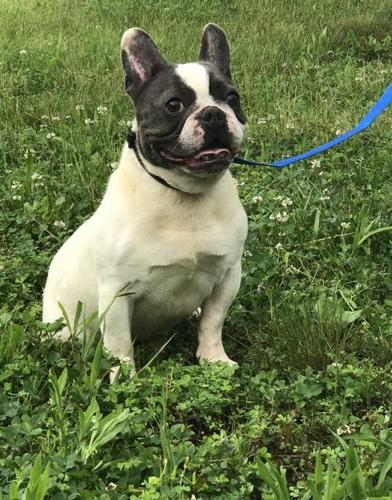 French Bulldog Puppy For Sale Adoption Rescue For Sale In Cobden