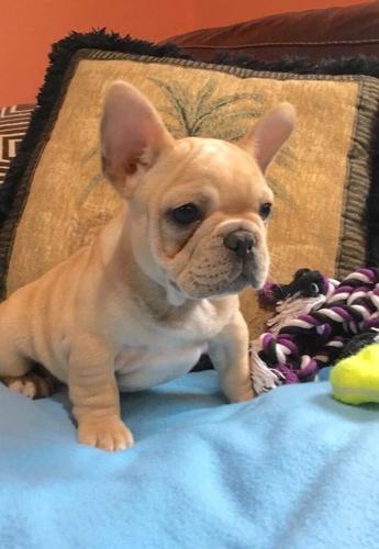 French Bulldog Puppy For Sale Adoption Rescue For Sale In