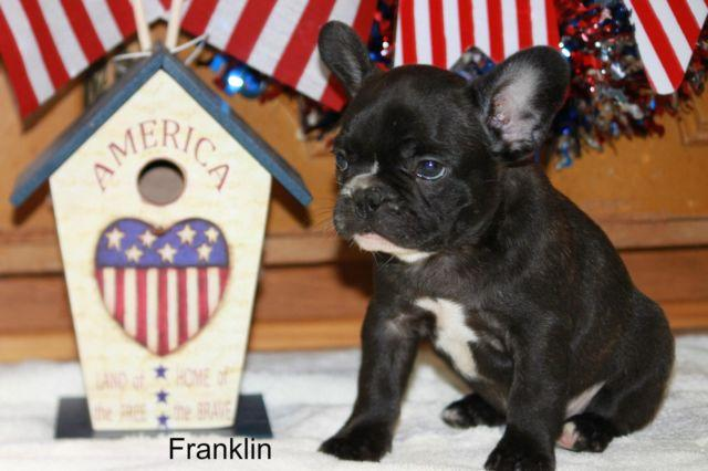 French Bulldog Puppy Franklin Full AKC