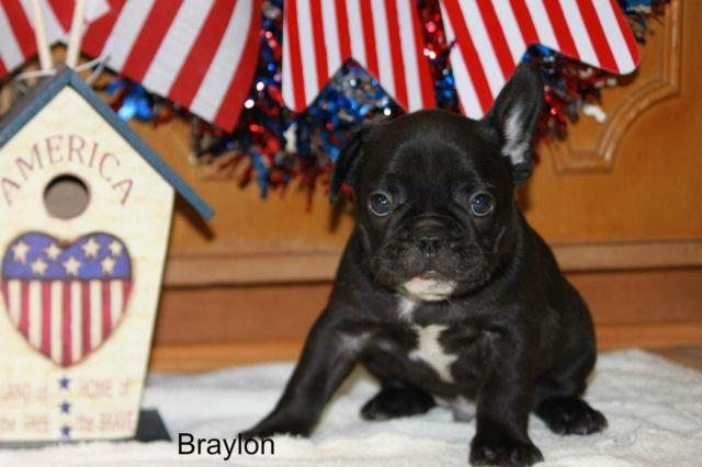 French Bulldog Puppy Full AKC Braylon