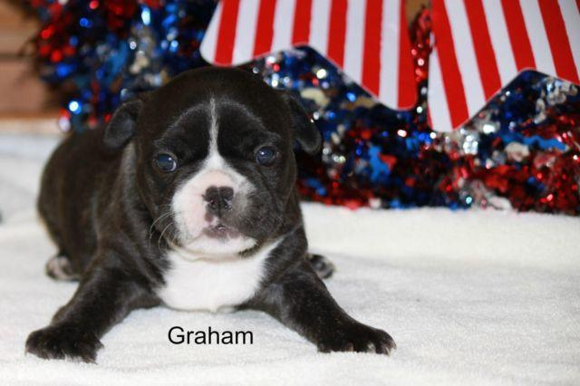 French Bulldog Puppy Graham Full AKC