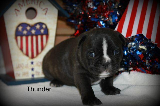 French Bulldog Puppy Thunder Full AKC