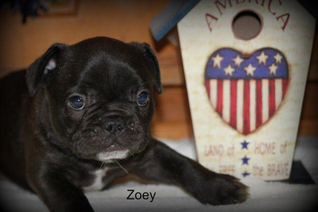 French Bulldog Puppy Zoey Full AKC