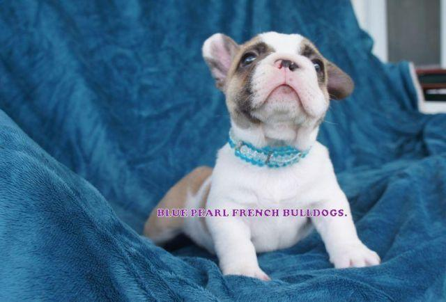 French Bulldog Rare Gorgeous Chocolate Fawn Pied Carries